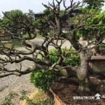 [象牙樹]整理