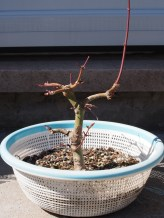 Japanese Maple Before Repot