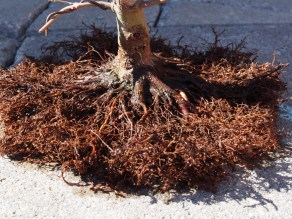 Japanese Maple Roots