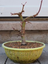 Japanese Maple Potted