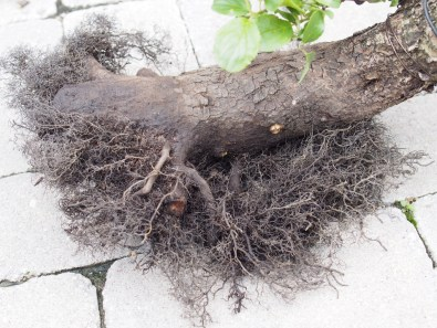 Collected Tree Bare Rooted