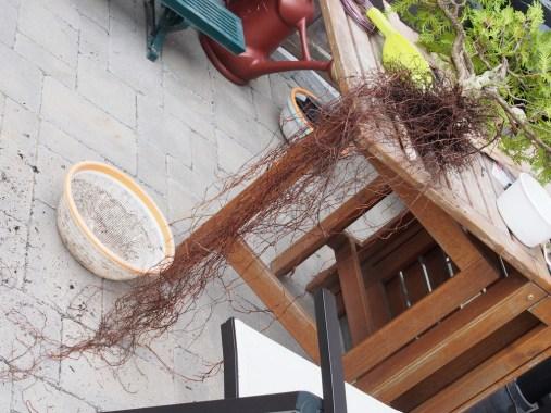 Cedar Long Roots