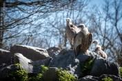 Vautour au Parc animalier de Sainte-Croix à Rhodes.