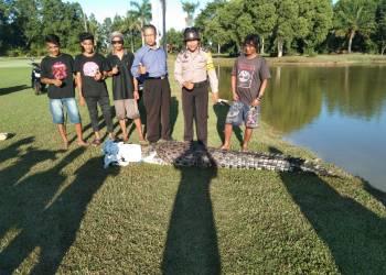 Buaya sepanjang 3 meter yang berhasil diamankan di kolam belakang Hotel Bintang Sintuk, Kamis (12/3/2020). (Bhabinkamtibmas Loktuan for Bontangpost.id)