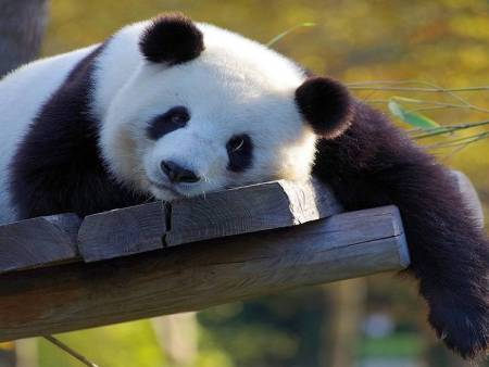 Simpatična panda omogućava zabavu uz dobitke!