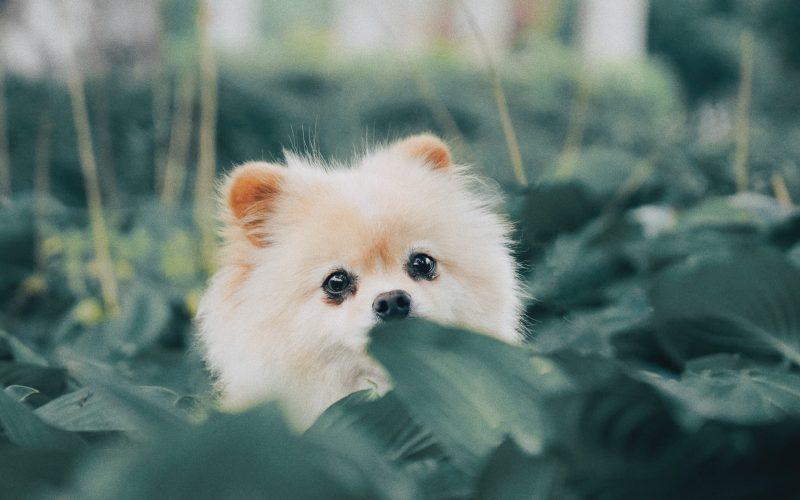 short-coat beige puppy behind green leaves
