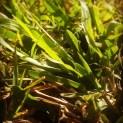 Golden grass x
