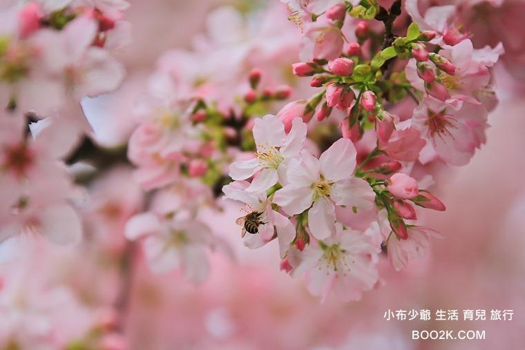▌2015天元宮賞櫻 ▌粉色吉野櫻盛開中(3/17花況)~從淡水捷運站搭乘接駁車,超方便!