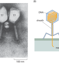 a electron microscopy image of phi29 and t7 bacteriophages as revealed by electron microscopy b schematic of the structure of a bacteriophage  [ 1131 x 821 Pixel ]