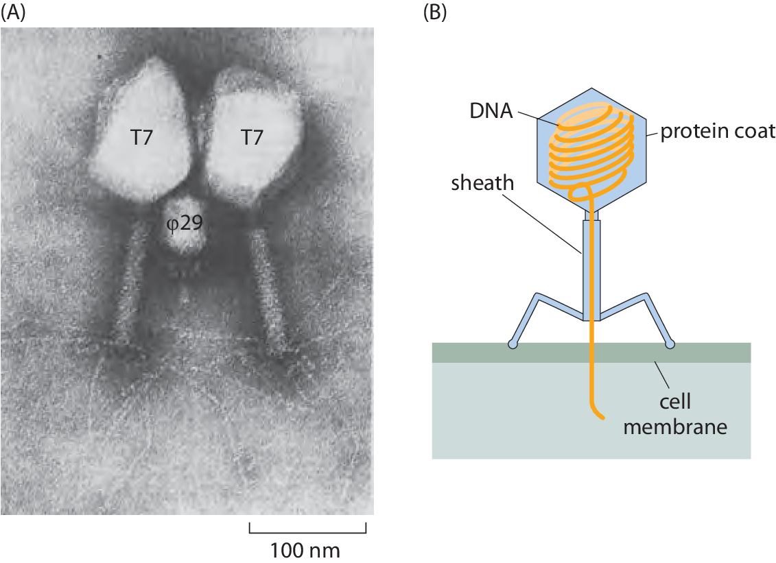 hight resolution of  a electron microscopy image of phi29 and t7 bacteriophages as revealed by electron microscopy b schematic of the structure of a bacteriophage