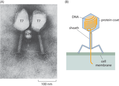 small resolution of  a electron microscopy image of phi29 and t7 bacteriophages as revealed by electron microscopy b schematic of the structure of a bacteriophage
