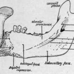 Human Mandible Diagram Porsche 356 Wiring Lower Jaw Or Part 2 Right Half Of