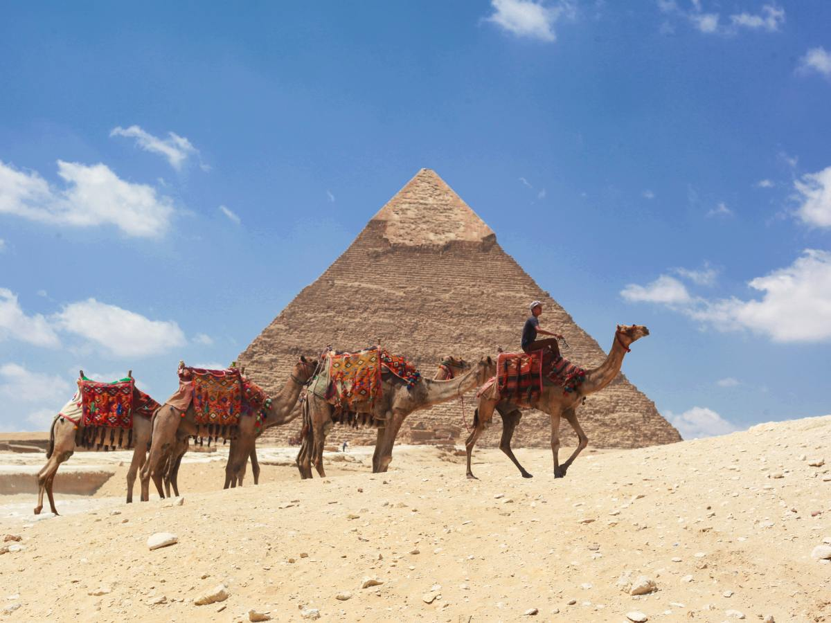 Camels walk in front of the Pyramids of Giza