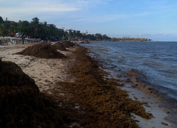 На пляжах Мексики появились водоросли