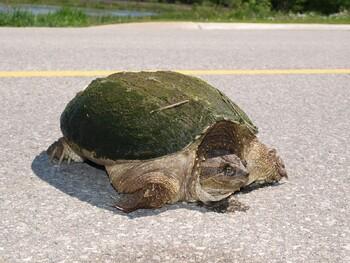 В Риме пенсионерка получила штраф за выгул черепахи во время карантина