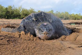 В Таиланде на опустевшие пляжи вернулись редкие морские черепахи