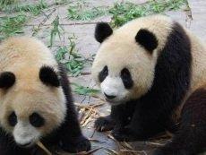 Без излишнего внимания свидания панд могут стать более продуктивными
