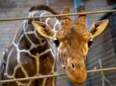 Жираф, львы, кто следующий?