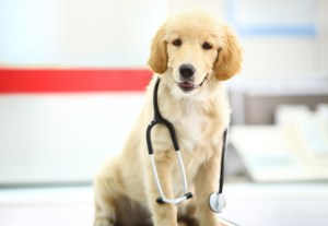 Golden retriever puppy with a stethoscope at vet's office, sitting on examination table and looking at camera. She's healthy girl and about to go home.
