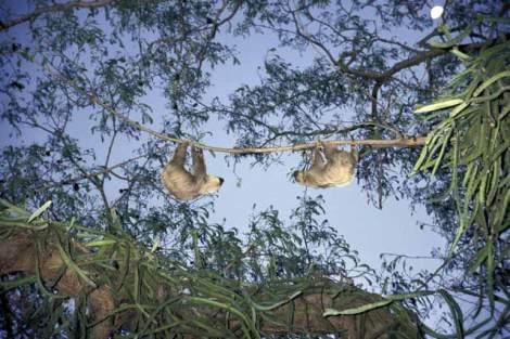 Bradypus variegatus (Three-Toed Sloth), Marcos Guerra, 2001