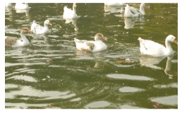 Read with Sara essay Ducks at Lodhi garden Delhi by Bookosmia