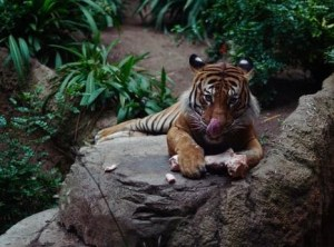 Save tigers - The time to act is now