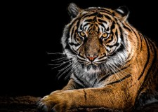 Bengal Tiger – A Tale From The Sundarbans Forest | Bookosmia