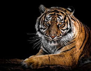 Bengal Tiger - A tale from the Sundarbans forest
