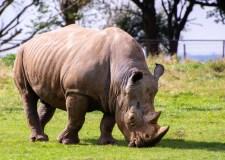 World Rhino Day – Meeting A Rhino In Singapore Zoo | Bookosmia