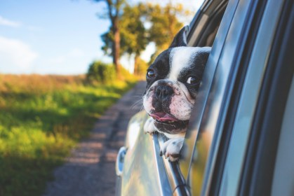 Children's Books About the United States - Children's Books About the 50 States - Children's Books about the regions of the United States. Picture is of a dog sticking his head out of a car window, on a road trip through the regions of the United States.