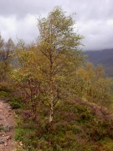 View over a valley with birch and heather