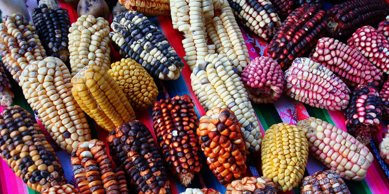 variety of corn in mexico