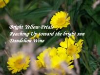 dandelion-wine-haiku