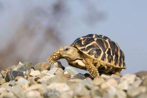 Sternschildkröten (Geochelone elegans)