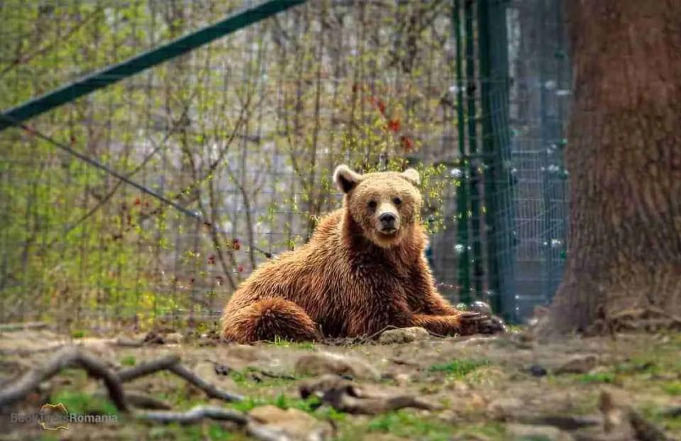 Romania's wildlife: the brown bear