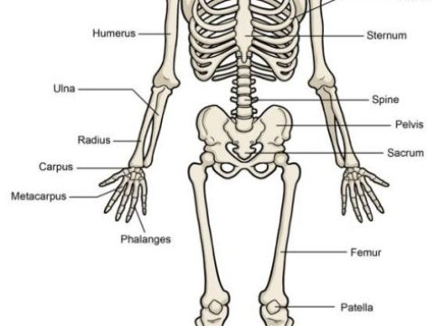 Download ZOO 112 Lecture Note – Mammalian body