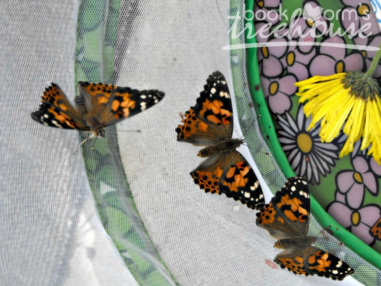 butterfly nature study painted ladies