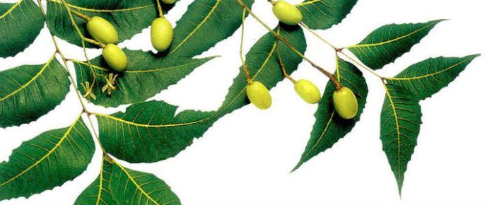 neem-leaves-seed