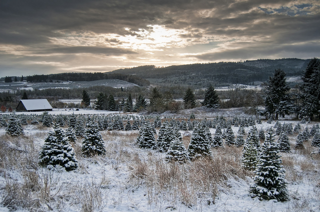 Beautiful Christmas Trees in Field