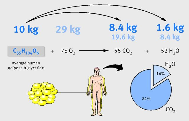 Figure 2: When somebody loses 10 kg of fat (triglyceride), 8.4 kg is exhaled as CO2. The remainder of the 28 kg total of CO2 produced is contributed by inhaled oxygen. Lungs are therefore the primary excretory organ for weight loss. (This calculation ignores fat that may be excreted as ketone bodies under particular (patho)physiological conditions or minor amounts of lean body mass, the nitrogen in which may be excreted as urea).