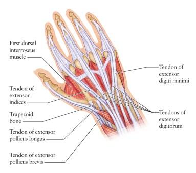 Hand, Tendons