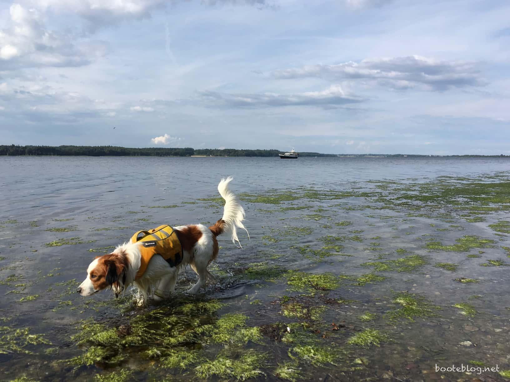 Ole tobt am Ufer von Tjaerø.