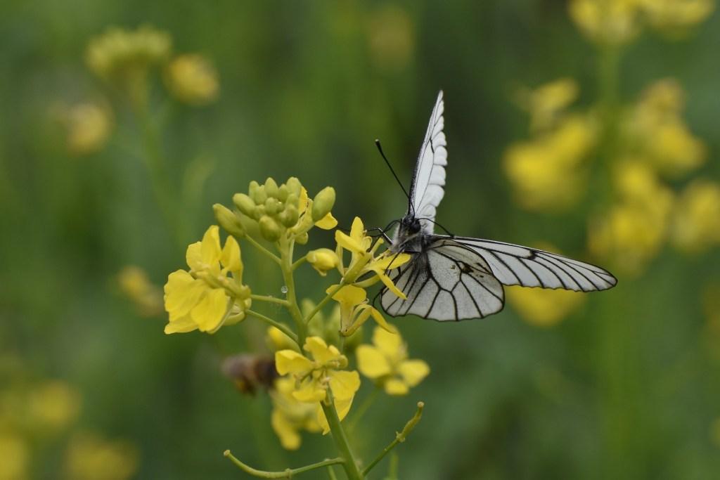Butterfly on Mustard flower