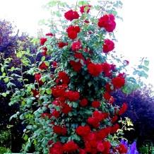 Z Rose (15)