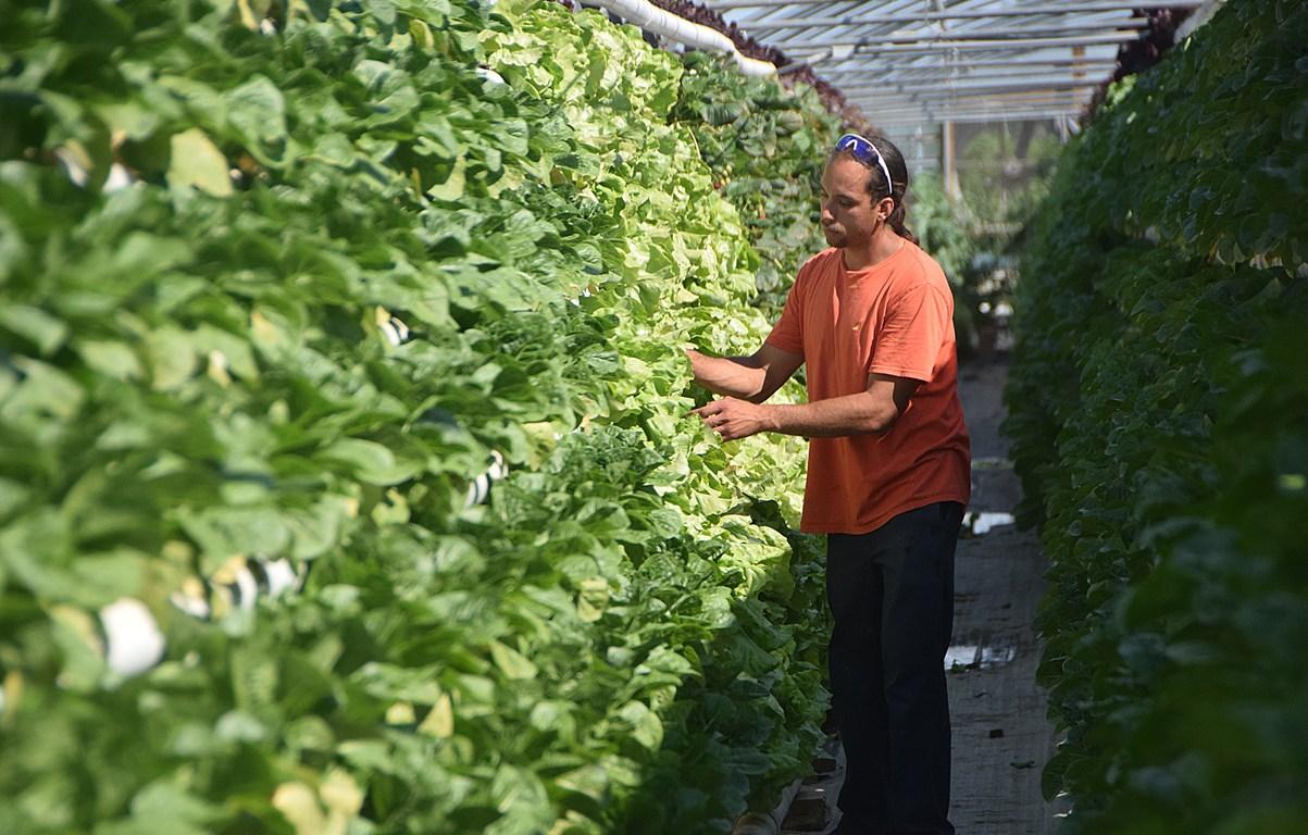 Maxton greenhouse lettuce