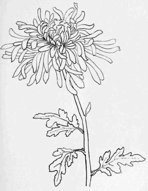 line drawing chrysanthemum simple flowers drawings examples flower sketches sketch tattoo easy japanese chrysanthemums lines foundation birth month chestofbooks craft