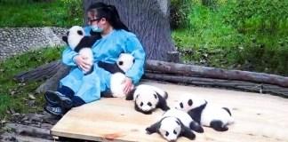 The world's best job: Being a professional panda-hugger