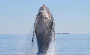 Whale Shows AMAZING Appreciation After Being Freed From Fishing Nets