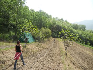 Laying drip irrigation lines in the orchard field.  We're planting squash and melon in these terraces.