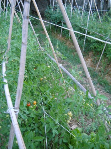It's about that time when things are just getting ripe, and our experimental synergetic beds are doing the best.